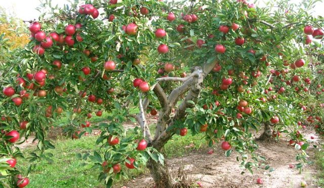 How Many Apples Are In A Seed?